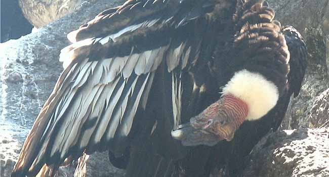 California condor back from the brink