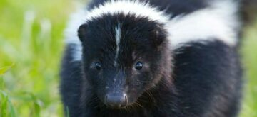 Do you have smelly neighbours? (Skunks, not pot growers)